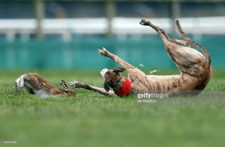 Hare coursing badly exposed by latest film footage...